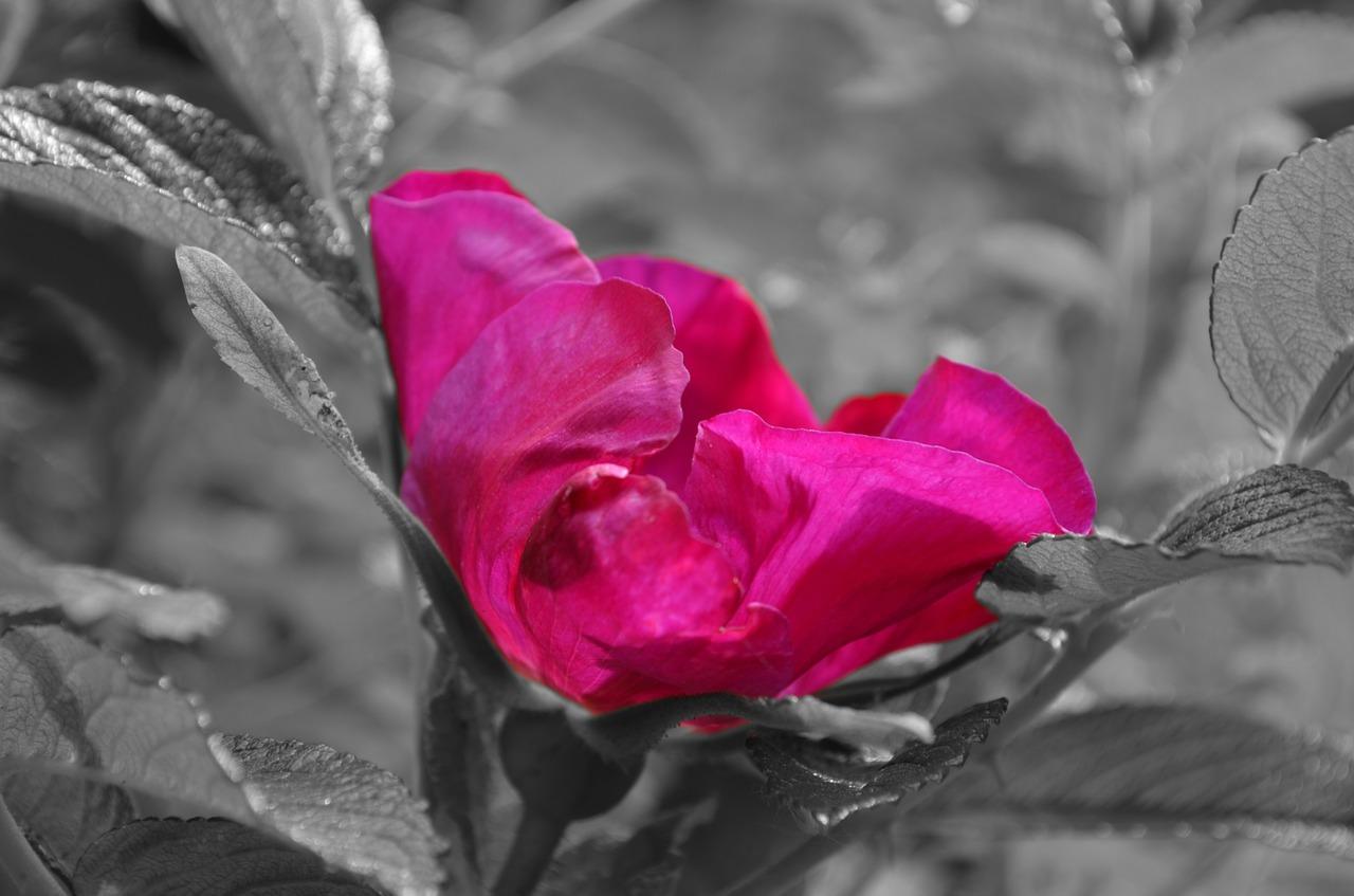 hibiskus1.jpg
